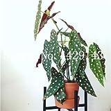 prime vista 120 Stück Schöne Begonie, seltene Begonie Bonsai Blumensaat Blumen Topf Begonie Pflanzen für Garten Balkon Zierpflanzen: 15