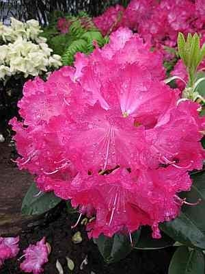 Rhododendron hybr. Germania