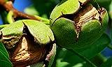 Walnuss Geisenheim Nr. 26 - veredelte Pflanze im 5l Container