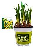 Narzisse Osterglocke 'Tête-à-Tête' gelb, vorgetrieben im 12 cm Topf - Zwiebelpflanze aus eigener Gärtnerei von Pflanzen-Kölle - Narcissus cyclamineus - schöne Osterdeko im Frühling