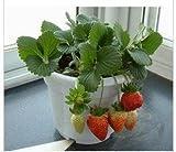 150 Samen - 8 Verschiedene Erdbeer-Sorten in einem Paket -Viele Farben, Formen und Größen-