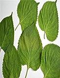PLAT FIRM KEIM SEEDS PLATFIRM-10 Samen der koreanischen Shiso Perilla sät Asian Delikat