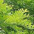 RP Seeds Sophora Japonica Pagoda Tree Seeds