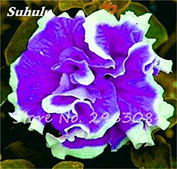 VISTARIC 11: 100 Pcs Clematis Graines de plantes Belle Paillage Graines de fleurs Bonsai ou un pot de fleurs vivaces pour jardin Mix Couleurs 11