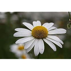 Portal Cool Margerite Wilde Blumensamen Mutter Wiese Biene Insekt Freundlich Garten Perennial