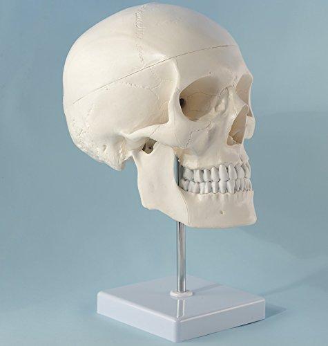 Zoom IMG-1 cranstein e 246 cranio umano