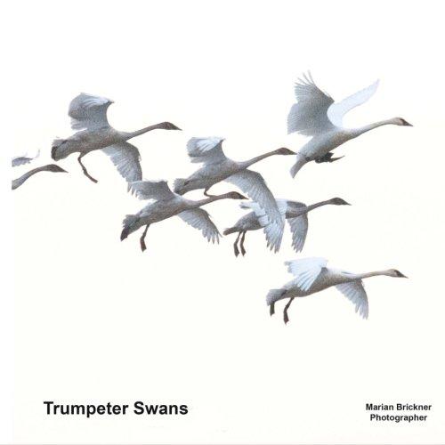 Trumpeter Swan (Trumpeter Swans)