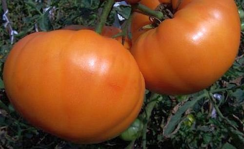 Tomate Amana Orange - Tomate Amana Orange - 15 graines