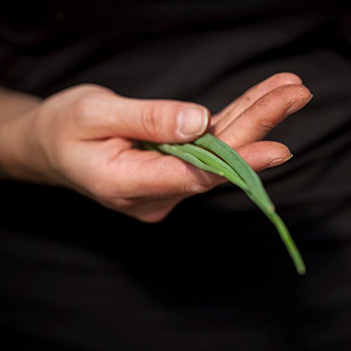 Winterheckzwiebel (Ewige Zwiebel) - Milde Variante der verwandten Speisezwiebel - Große Pflanze im 14cm Topf