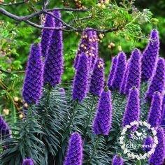 Livraison gratuite 100 Géant Echium Graines rares et exotiques Plantes Fleurs Fleur sécheresse tolérantes bricolage jardin