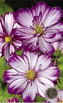 100 PC/Beutel Cosmos Perennial Blumen Bonsai Gepflanzt für Hausgarten Sehr leicht Indoor Bonsai-Topf-Pflanzer wachsen: 13 (Leichte Indoor-pflanzer)
