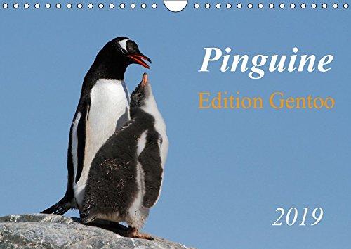 Pinguine - Edition Gentoo (Wandkalender 2019 DIN A4 quer): Die Welt der Eselspinguine in 13 Bildern (Monatskalender, 14 Seiten ) (CALVENDO Tiere)