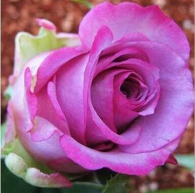 jardinières Pots de fleurs, 20 sortes de 100 graines, Rainbow Rose graines belle rose graines bonsaïs graines pour la maison et le jardin 19