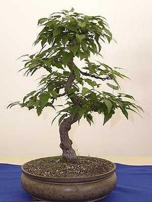 Acer ginnala - 20 graines