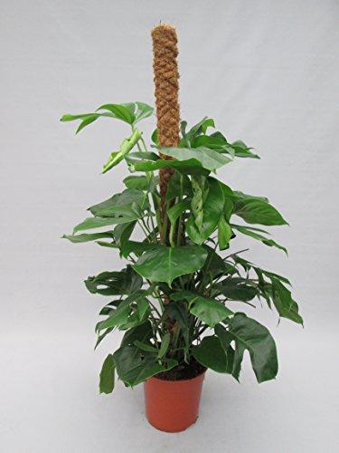 Blumen-Senf Monstera delicosa,Köstliche Fensterblatt 160 cm / Topf 27 cm / Zimmerpflanze (Hohe Lippe Geschmack)