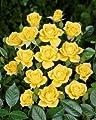 Kletterrose 'Laura Ford' -R- A-Qualität Wurzelware von Rosen-Union bei Du und dein Garten