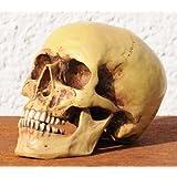 Set:Anatomie Schädel , Totenkopf, Anatomieschädel,Menschenschädel 2tlg. mit Unterkiefer Nachbildung authentisch