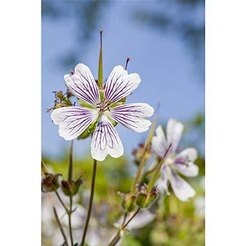 Kaukasus-Storchschnabel - Variante: Geranium renardii, P 0,5