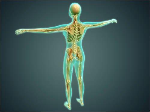 Unbekannt Alu Dibond 120 x 90 cm: Human body showing skeletal system, arteries, veins, and nervous system. von Stocktrek Images/Stocktrek Images