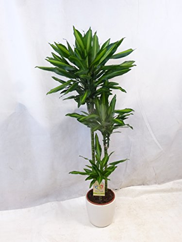 [Palmenlager] - Dracaena cintho 160 cm - Drachenbaum 3er Tuff -//Zimmerpflanze