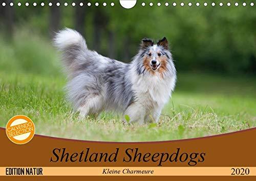 Kleine Charmeure (Wandkalender 2020 DIN A4 quer): Shelties mit besonderem Charme (Monatskalender, 14 Seiten ) (CALVENDO Tiere) ()