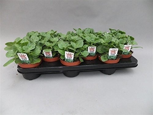 "Coleus Canin""Verpiss-Dich""-Pflanze, Katzenschreck, Katzen-Stopp (4 Pflanzen im Set)"