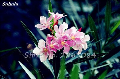 100pz nerium oleander flower seed look like rose fiore di bonsai home garden four seasons fiore perenne easy grow, 7, show in picture