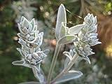 Sage, White Sage, Salvia Apiana, organico, 30 semi per pacchetto, Heirloom, medicinali