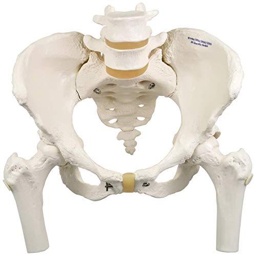 3B Scientific Menschliche Anatomie - Becken-Skelettmodell, weiblich, mit Oberschenkelstümpfen