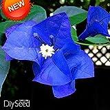 Neue Ankunft! Eine Packung 100 Stück Samen einzigartige blaue Bougainvillea Spectabilis Samen Perennial Bonsai Pflanze Blumensamen, # 3T3BG6