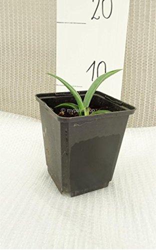 Besondere Yucca Raritäten - (baccata, ±15cm in 0,7 ltr Topf)