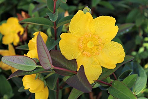 Grossblumiges Johanniskraut 'Hidcote' - starke Pflanze im grossen 5lt Topf (2er-Set)