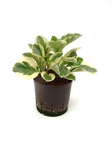 Zwergpfeffer, Peperomia obtusifolia USA, Zimmerpflanze in Hydrokultur, 13/12er Kulturtopf, 20 - 25 cm