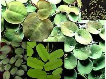 20-25 Schwimmpflanzen Mix, 4 Sorten, gegen Algen von 474 bei Du und dein Garten