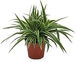 Grünlilie, (Chlorophytum comosum), luftreinigende Zimmer und Büropflanze, (1 Pflanze)