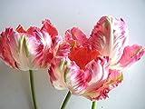 PLAT FIRM Germination Les graines: 2 ampoules rose bulbes de tulipe blanc vert, fleur de tulipe, (non tulipe graines)
