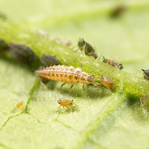 Dragonfli Lacewing Larvae - Live Lacewing Larvae for Natural Control of Aphids & Greenfly (500)