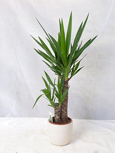 [Palmenlager] Yucca elephantipes 2er Tuff 80/90 cm/Yucca-Palme/Zimmerpflanze