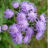 Nuovi semi agastache rugosa, semi Patchouli Herb blu liquirizia, menta indiano viola gigante Issopo Semi 200pcs