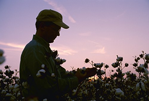 The Poster Corp Bill Barksdale/Design Pics - Agriculture - A Farmer/Grower inspects his Mature Cotton Crop Prior to Harvest at Sunset/Arkansas USA. Photo Print (45,72 x 30,48 cm)