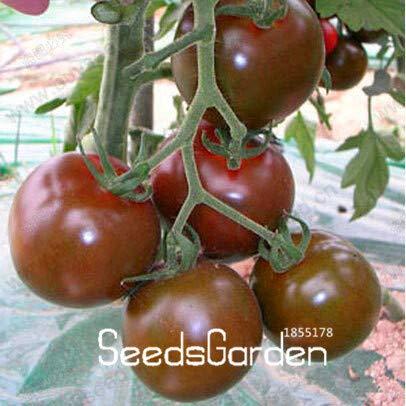 Pinkdose Zeitlimit!!Tomaten-Bonsai Bio-Schokoladentomate Pflanzen, Lila Perlentomaten Garten, Obst und Gemüse im Topf - 20 Stck