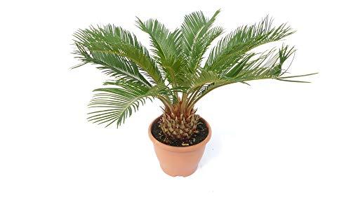 L Palmfarn 60-80 cm Cycas Revoluta Sagopalme Palme, innen + außen