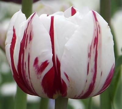 """Tulipa - Gefüllte Tulpe """" Carnaval De Nice """" von GHA-Thulke auf Du und dein Garten"""