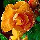 Fash Lady 100 STÜCKE mischfarbe Begonie Blumensamen Schöne Garten Bonsai blumensamen Mehrjährige Malus Spectabilis Samen für hausgarten 7