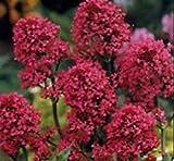PLAT FIRM Germination Les graines PLATFIRM-40 + Barbe de Jupiter Rouge/Graines de fleurs vivaces