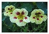 Premier Seeds Direct CI-LUIM-OHGW Nasturtium Ladybird Spot Seeds - Cream/Purple (Pack of 25)