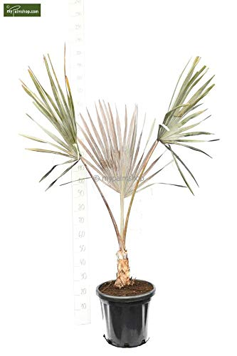 Bismarckia nobilis, Bismarckpalme, Gesamthöhe: 140-160cm Stamm 20cm Topf Ø 40cm