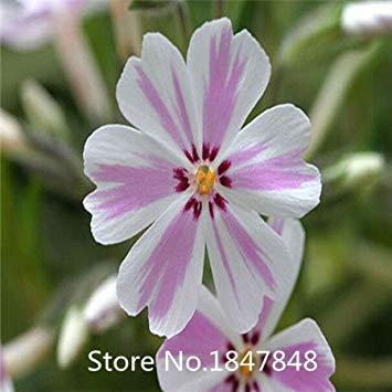 Homely Arrivée Maison Jardin Plante 100 Graines PHLOX TWINKLE STAR, Phlox Drummondii Cuspidata Graines De Fleurs