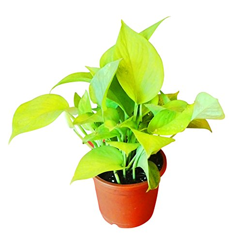 Exotic Green Oxygen & Air Purifier Golden Pothose Plant