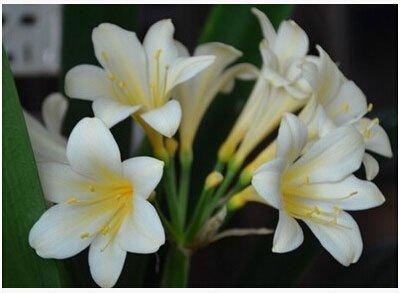 graines rares Clivia extérieur vivaces Bonsai Balcon fleurs en pot pour plantes ornementales Décor de jardin Facile à cultiver 100 pcs / sac 4